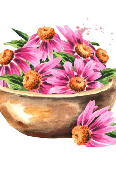 Bowl with Echinacea purpurea flowers and leaves, medical plant or herb. Hand drawn watercolor illustration, isolated on white background
